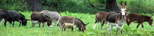 Miniature Donkeys