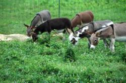 Pet Donkeys